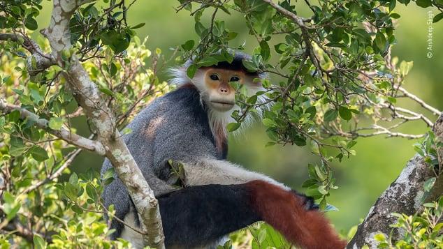 Esta imagem de um primata em perigo de extinção foi tirada por um garoto de 13 anos.