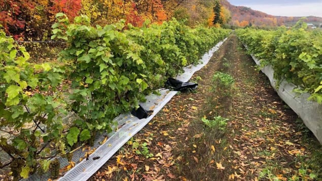 The thieves stole 500 kilograms of grapes from the site, leaving the vines bare.