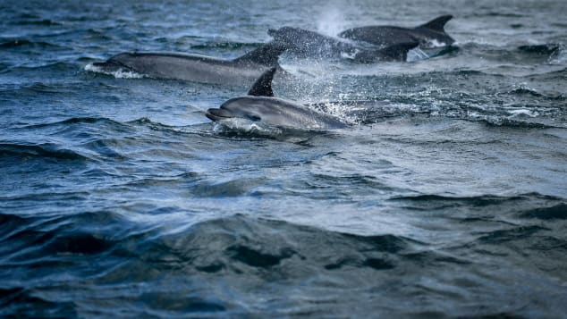 TOPSHOT - Dolphins swim in the Tagus past a boat observing marine species off the coast of Lisbon on August 7, 2021. - Since the start of the Covid-19 pandemic, dolphins have returned to the Tagus estuary in Lisbon, where they have found an unusual calm in less polluted water, thanks to restrictions which have led to a drop in maritime traffic, according to scientists. (Photo by PATRICIA DE MELO MOREIRA / AFP) (Photo by PATRICIA DE MELO MOREIRA/AFP via Getty Images)