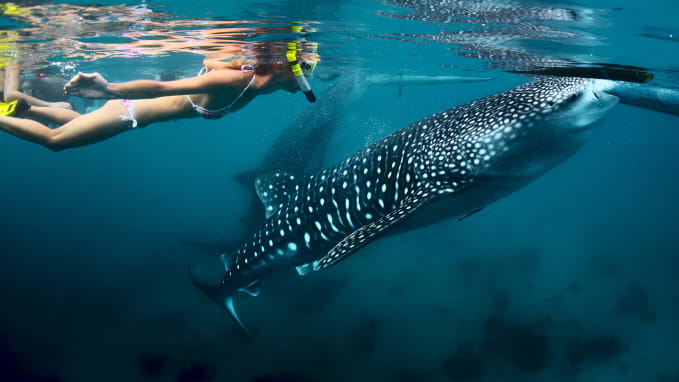Swimming with whale sharks in the Philippines. Image: CNN