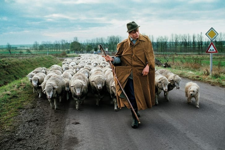 A man walks with a herd of sheep near Magdeburg, in the former German Democratic Republic, DDR, 1989.