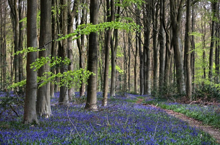 Bluebells blooming in West Woods, England, in April 2011.
