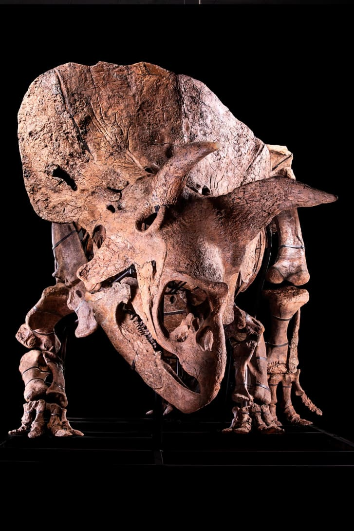 The Triceratops skeleton is 66 million years old.
