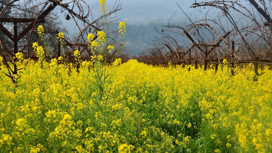 Spring flowers signs of the season cnn travel cnnspring mustards napa mightylinksfo