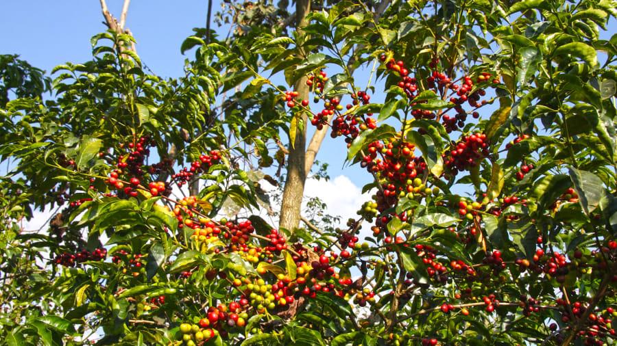 Rezultat iskanja slik za ethiopia coffee