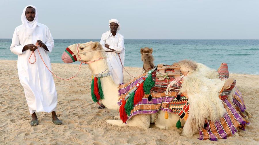 Best of Qatar camel