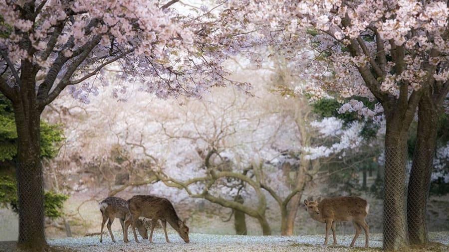 Cherry Blossoms Tokyo Tower Nara Deer Park