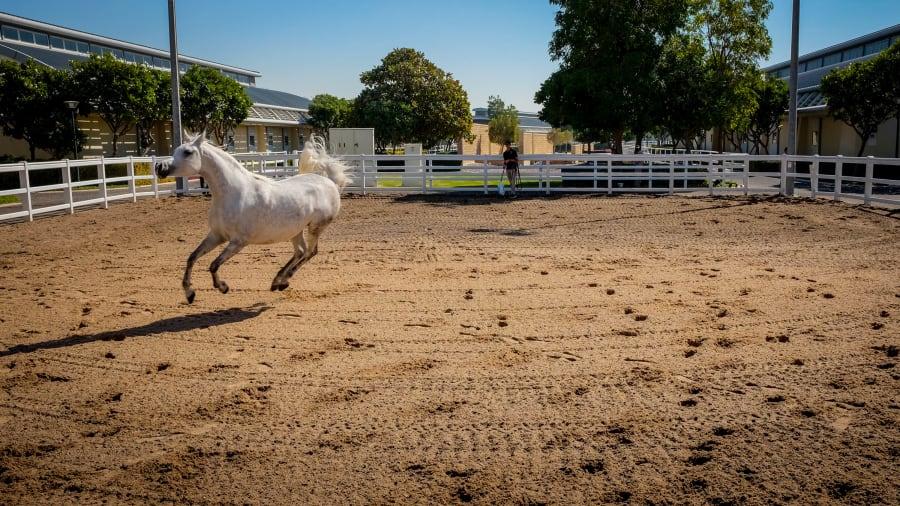 al shaqab horse canter-1021