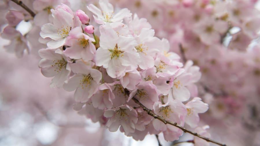 Cherry blossoms reach their peak in washington dc cnn travel cherry blossoms washington tidal basin 2018 mightylinksfo