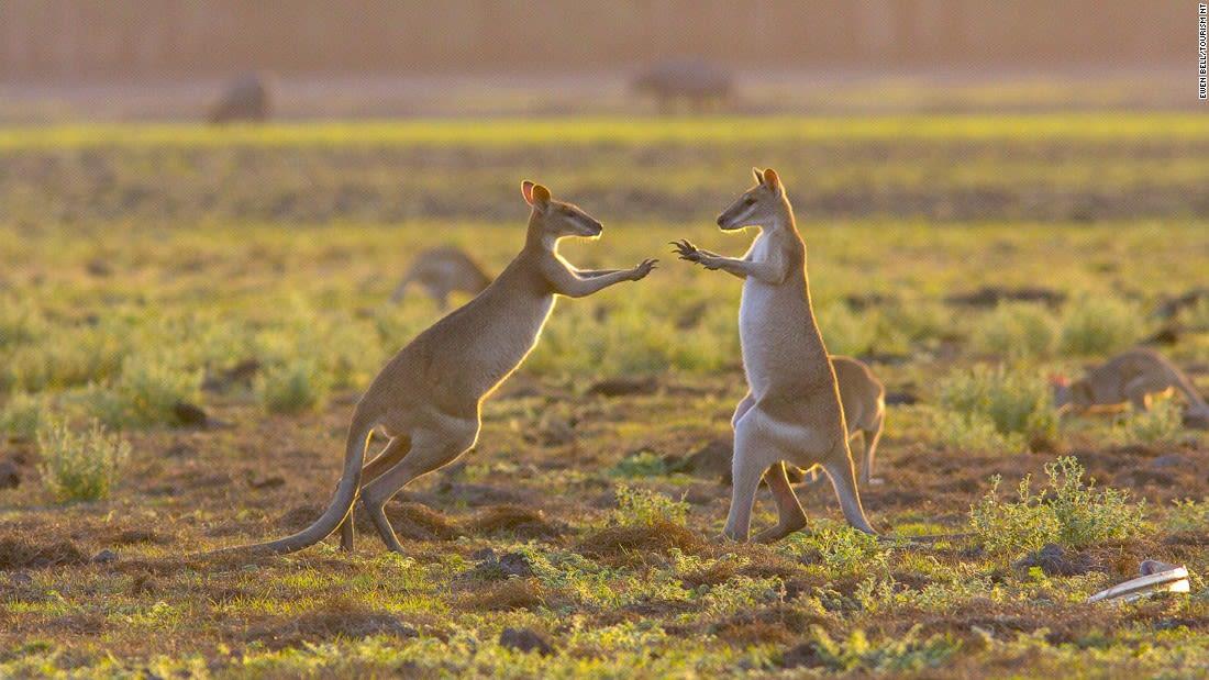 Australia Kakadu Agile wallabies - Mary River Floodplains 108611-3