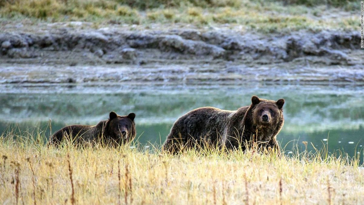 Yellowstone grizzly bears put back on endangered species list