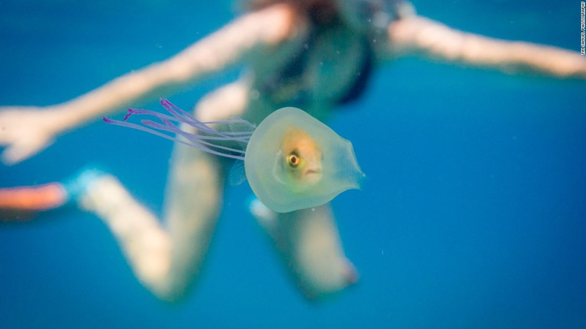 Help! Fish peers out from inside a jellyfish