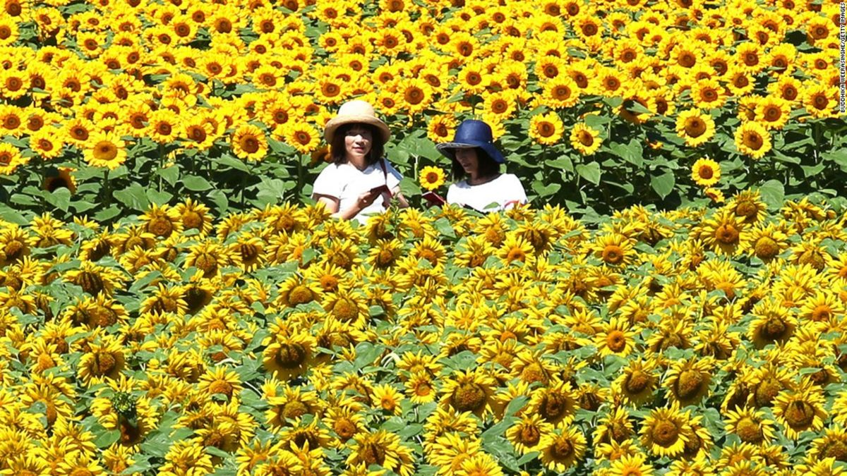 The heat wave is causing sunflowers to bloom early
