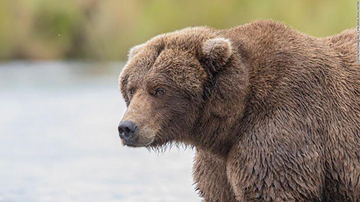Fat Bear Minggu adalah hal, dan anda dapat memilih untuk chunkiest