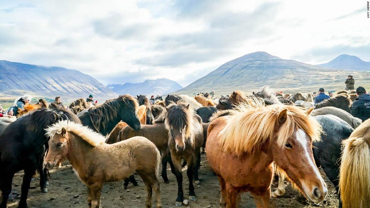 Islandia besar pony pesta liar dan berangin naik
