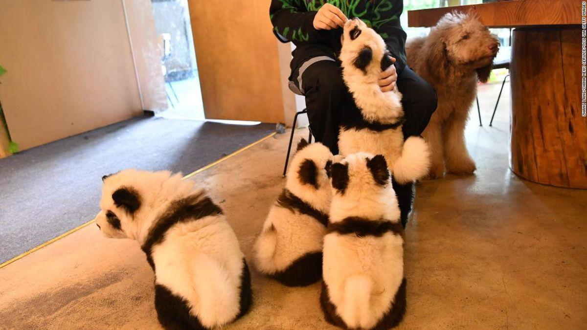 Chinese cafe Malt Hunde, die Aussehen wie pandas