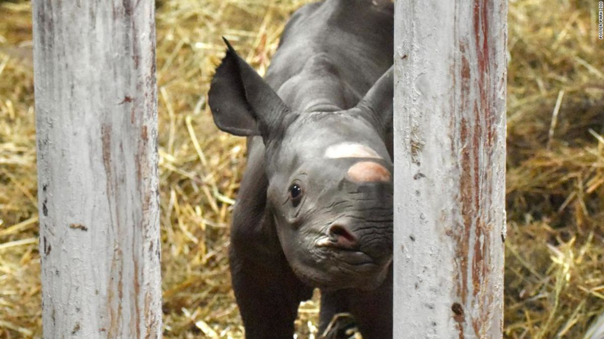 Seltene schwarze Nashorn, geboren in Michigan zoo an heiligabend