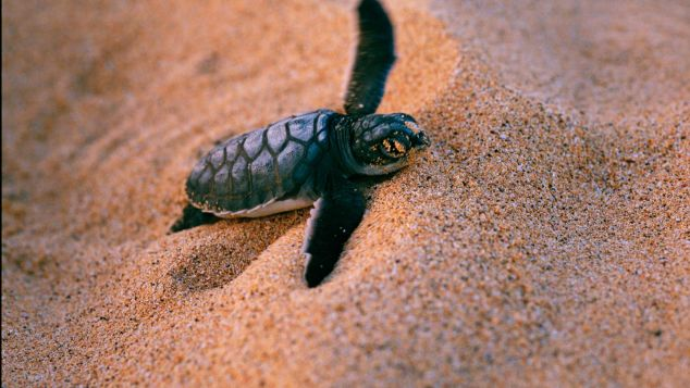 A green turtle hatchling struggles from its nest in the sand in Fernando de Noronha.