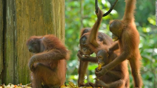 The Sepilok Orangutan Rehabilitation Centre is world-famous for its conservation efforts.