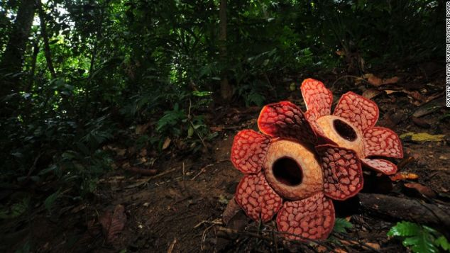 Rafflesia, world's biggest flower bloom.