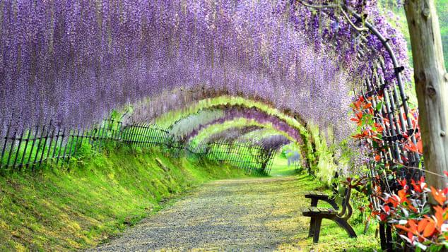 Nhật Bản xinh đẹp Kawachi Wisteria