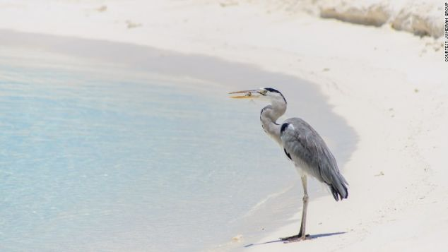 Holiday with herons in the Maldives.