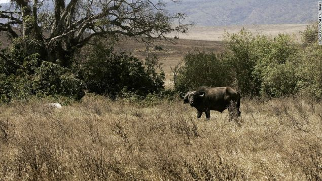 A buffalo eats grass at the Ngorongoro National Park in northern Tanzania.