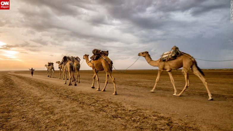 irpt camels in Danakil Depression, Northern Ethiopia
