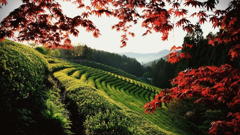 Almost half of Korea's green tea is produced here.